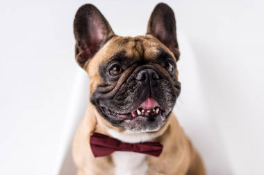 french bulldog with bow tie