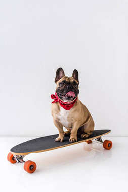 Funny french bulldog sitting on skateboard and showing tongue out on grey stock vector