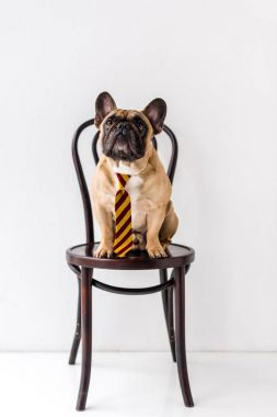french bulldog in striped necktie