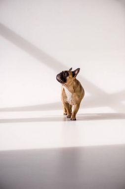 Purebred French Bulldog