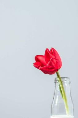 close-up view of beautiful red tulip flower in bottle with milk isolated on grey