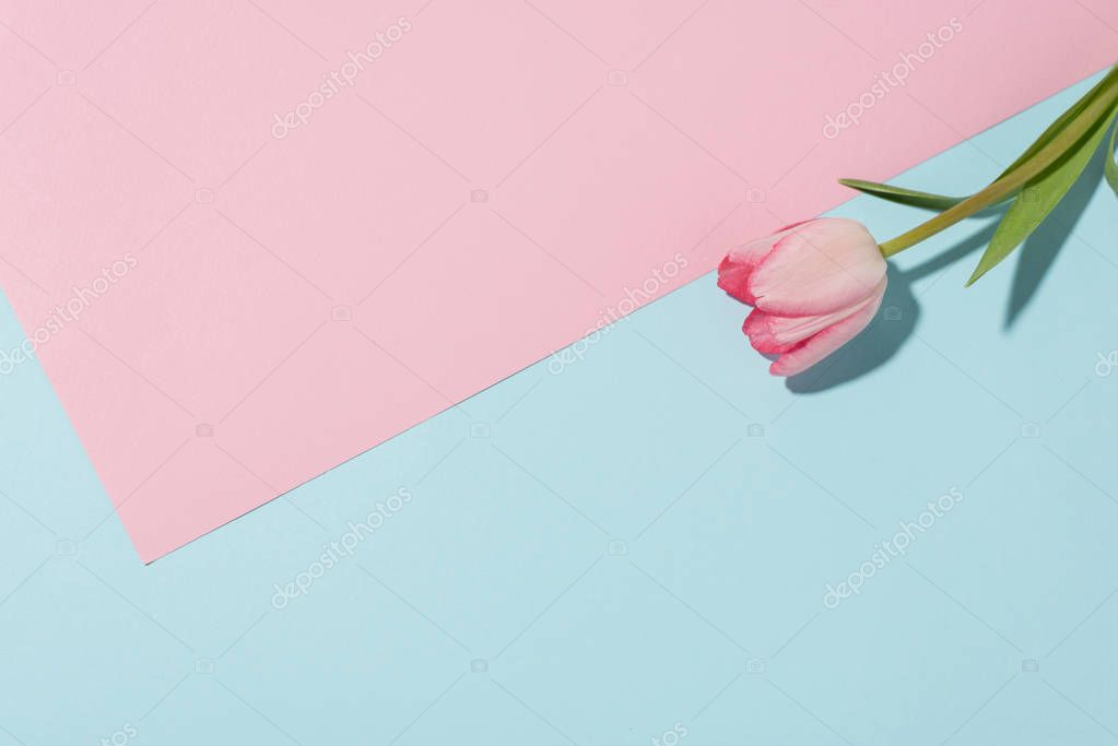 close-up view of beautiful pink tulip flower on colored background