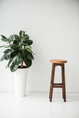wooden chair and plant with green leaves on white