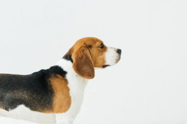 side view of cute beagle isolated on white