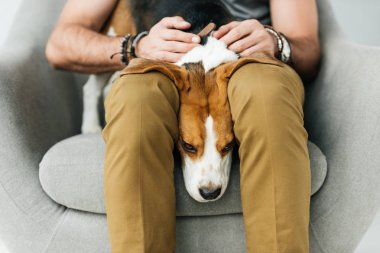 cropped image of cute beagle lying between man legs