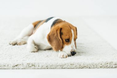 cute beagle lying on white carpet at home
