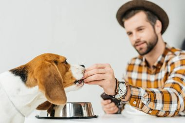 man feeding cute beagle with dog food