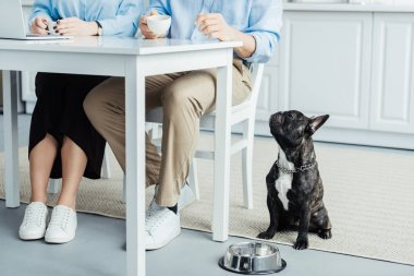 Cute French bulldog looking at owners by table with laptop