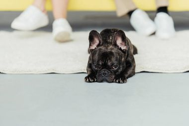 Funny French bulldog lying on the floor by his owners