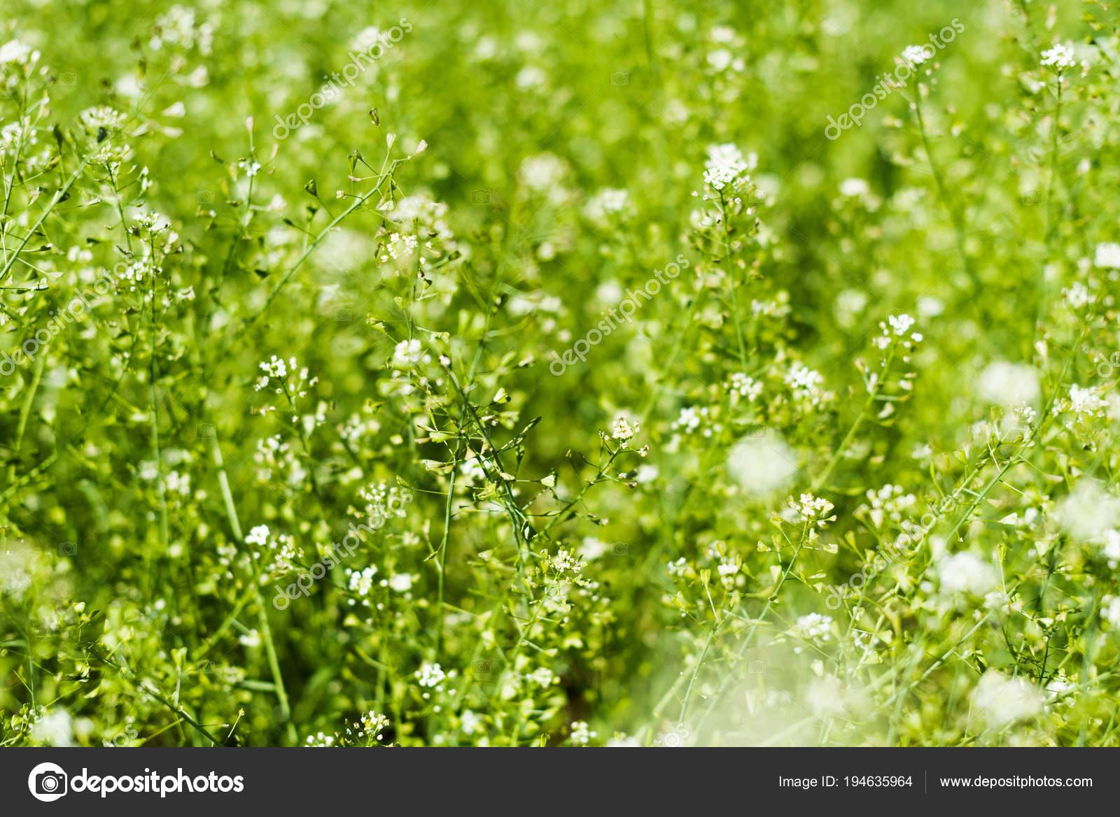 Wild White Flowers Summer Lawn Stock Photo Y Boychenko 194635964