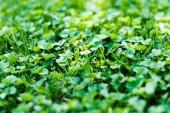 Zöld nyári rét, lóhere növény
