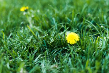 Yellow blooming dandelions on spring meadow