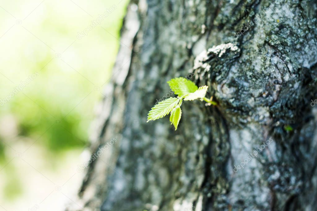 Young green leaves on tree trunk