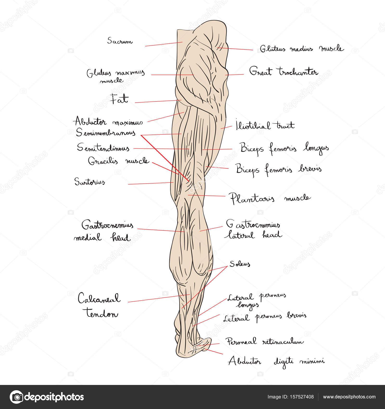 Beinmuskulatur zurück text — Stockfoto © richcat #157527408