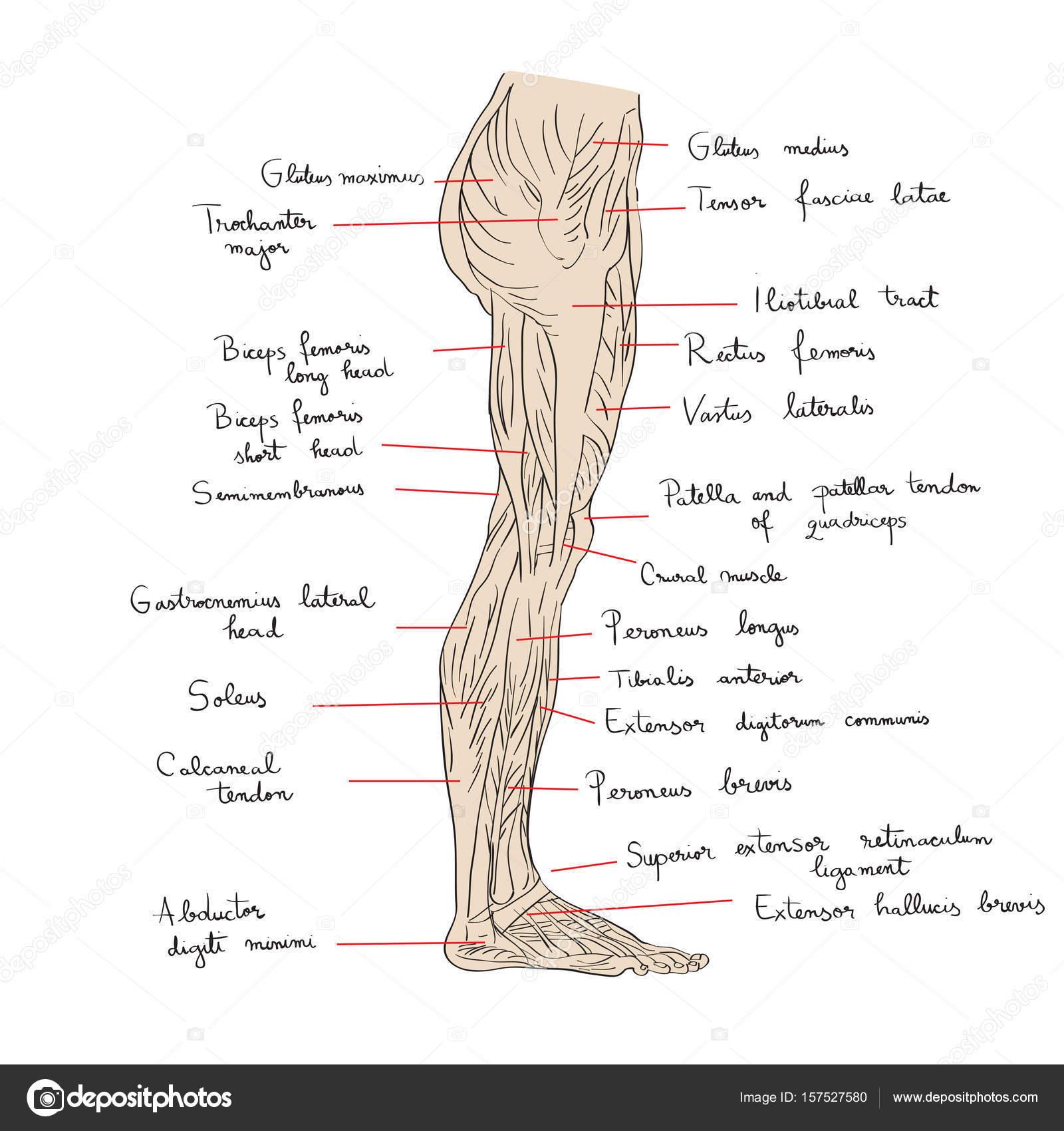 die seitliche Beinmuskulatur text — Stockfoto © richcat #157527580