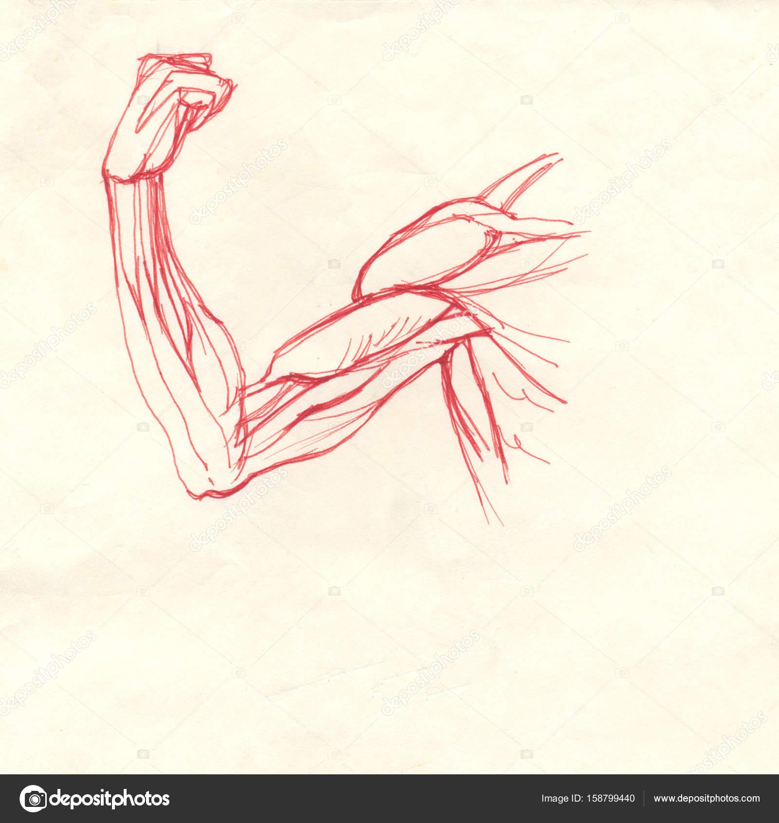 bíceps del brazo — Foto de stock © richcat #158799440