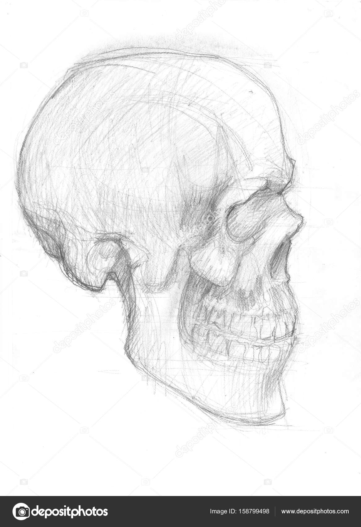 Lateral Skull Sketch Stock Photo Richcat 158799498