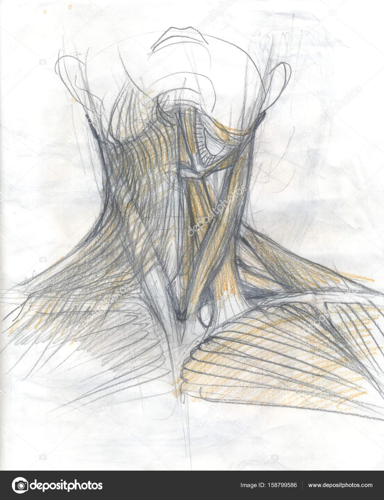 menschlichen Nackenmuskulatur — Stockfoto © richcat #158799586