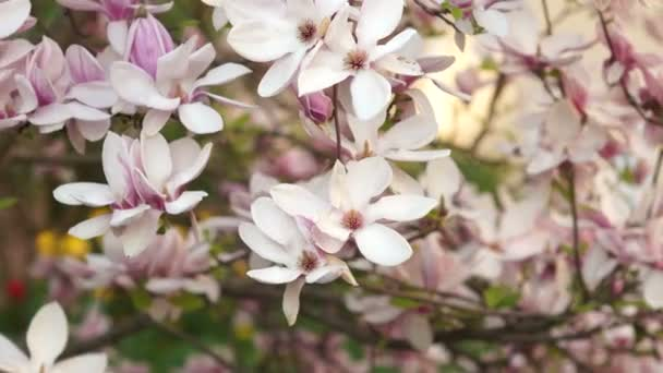 Branches of a blossoming Magnolia.