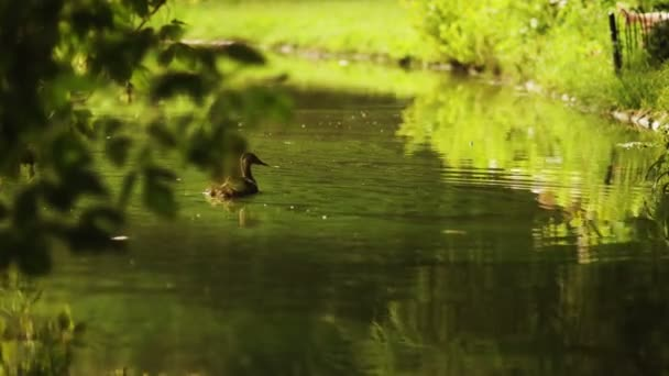 Duck with ducklings on walk floating in the pond water. Harmony of nature