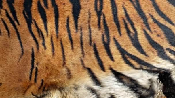 striped tiger fur close up