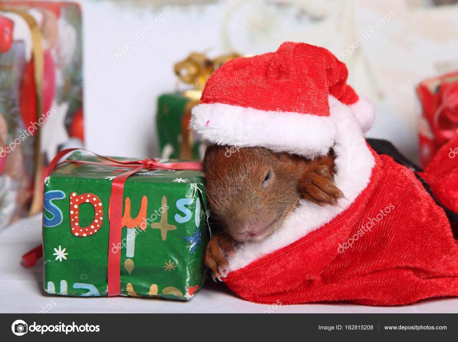 junge Eichhörnchen Weihnachten — Stockfoto © metalmaus #162815208