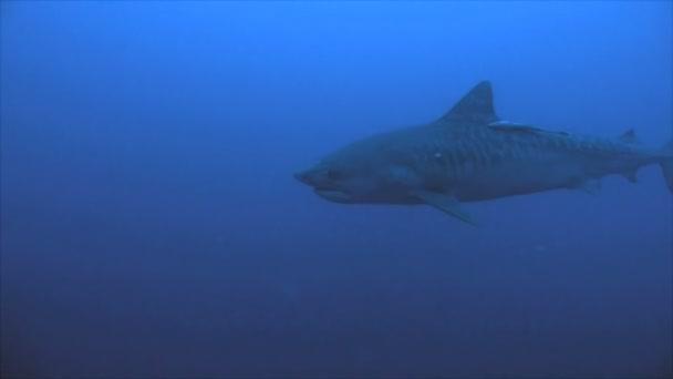 riesiger Tigerhai schwimmt langsam im blauen Wasser, unter Wasser erschossen