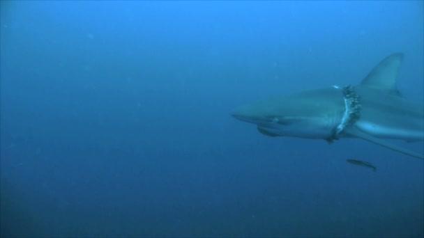 Hai mit Parasiten um den Hals verletzt