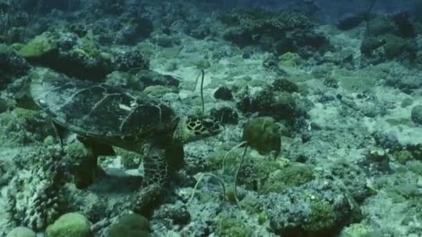 Kareta pravá plavání přes reeftop, Palau