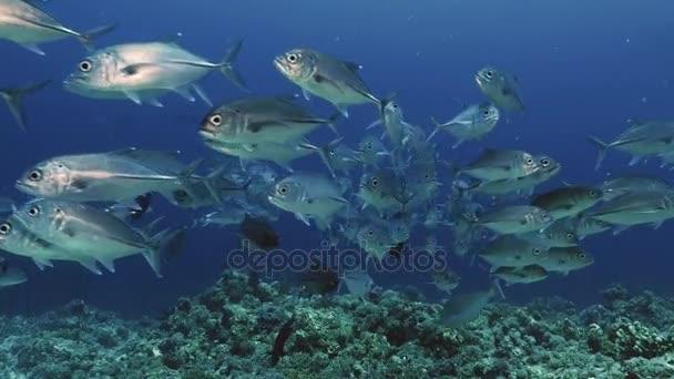 Obrovské hejno ryb, Rudé moře