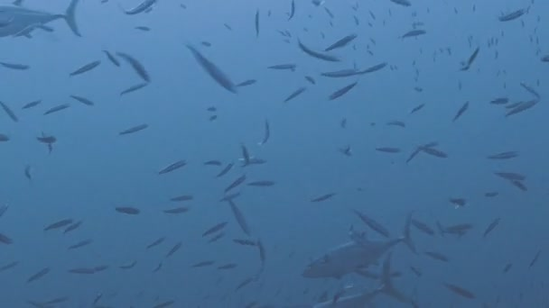Feeding tuna, Red Sea