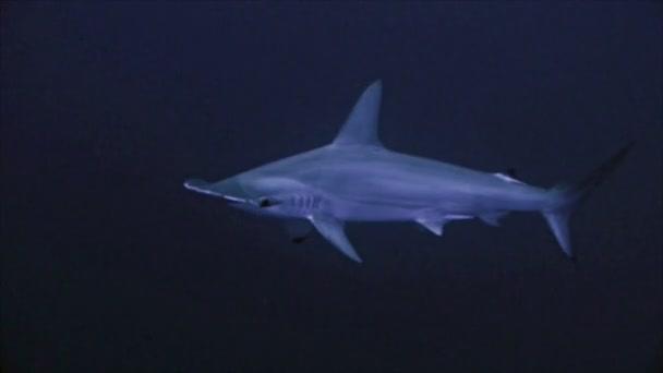 Profilbild eines Hammerkopfschusses in blauem Wasser