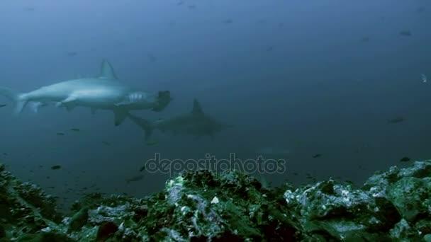 Riesenschule von Hammerhaien in blauem Wasser, rotem Meer