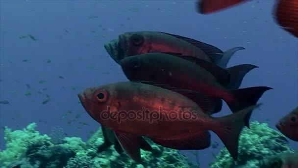 Skupina červené společné velké oko v Rudém moři