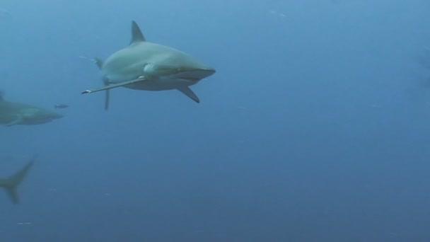 Gruppe von Haien in blauem Wasser, Pazifik