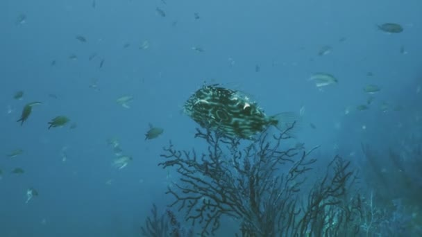 john dory vis in de middellandse zee reef landschap — stockvideo