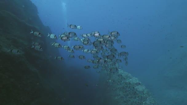 Big school of Sea Breams in Mediterranean Sea