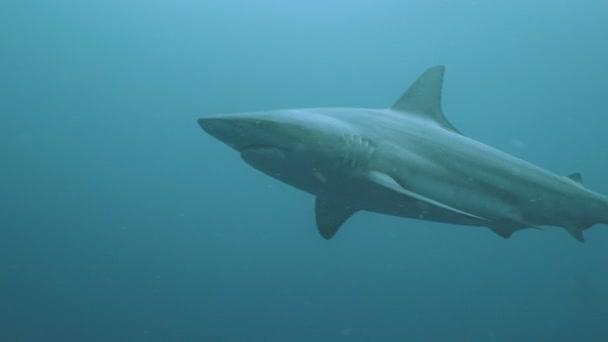 Nagy óceáni cápa női fürdőruha a közelben kék víz, víz alatti szemcsésedik, Dél-afrikai Köztársaság