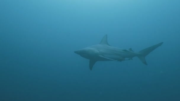 Big Oceanic shark in open blue water, tracking underwater shot, South Africa