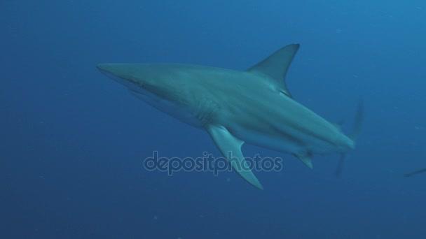 Óceáni Blacktip cápa a nyílt víz, Dél-afrikai Köztársaság