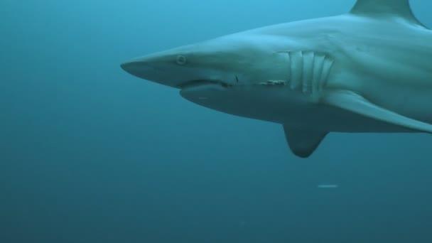 Cápa bekarikázás búvár víz alatti szemcsésedik, Dél-afrikai Köztársaság