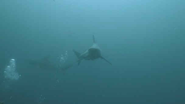 A cápák csoport találkozik búvárok a nyílt tenger, Dél-afrikai Köztársaság