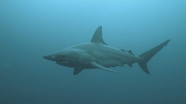 Három nagy cápák, a nyílt tengeren, cirkáló, Dél-afrikai Köztársaság