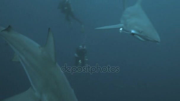 Oceanic Sharks meet a group of Scubadivers in open ocean, South Africa