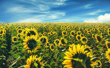 Sunflower Meadow Landscape In Summer. Countryside Agriculture Concept