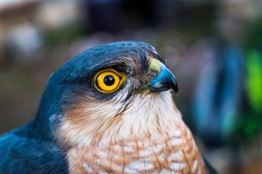 Portrait of sparrow hawk