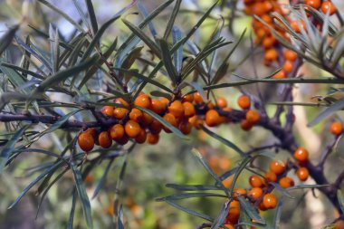 Hippophae rhamnoides. Branch of sea buckthorn with berries.