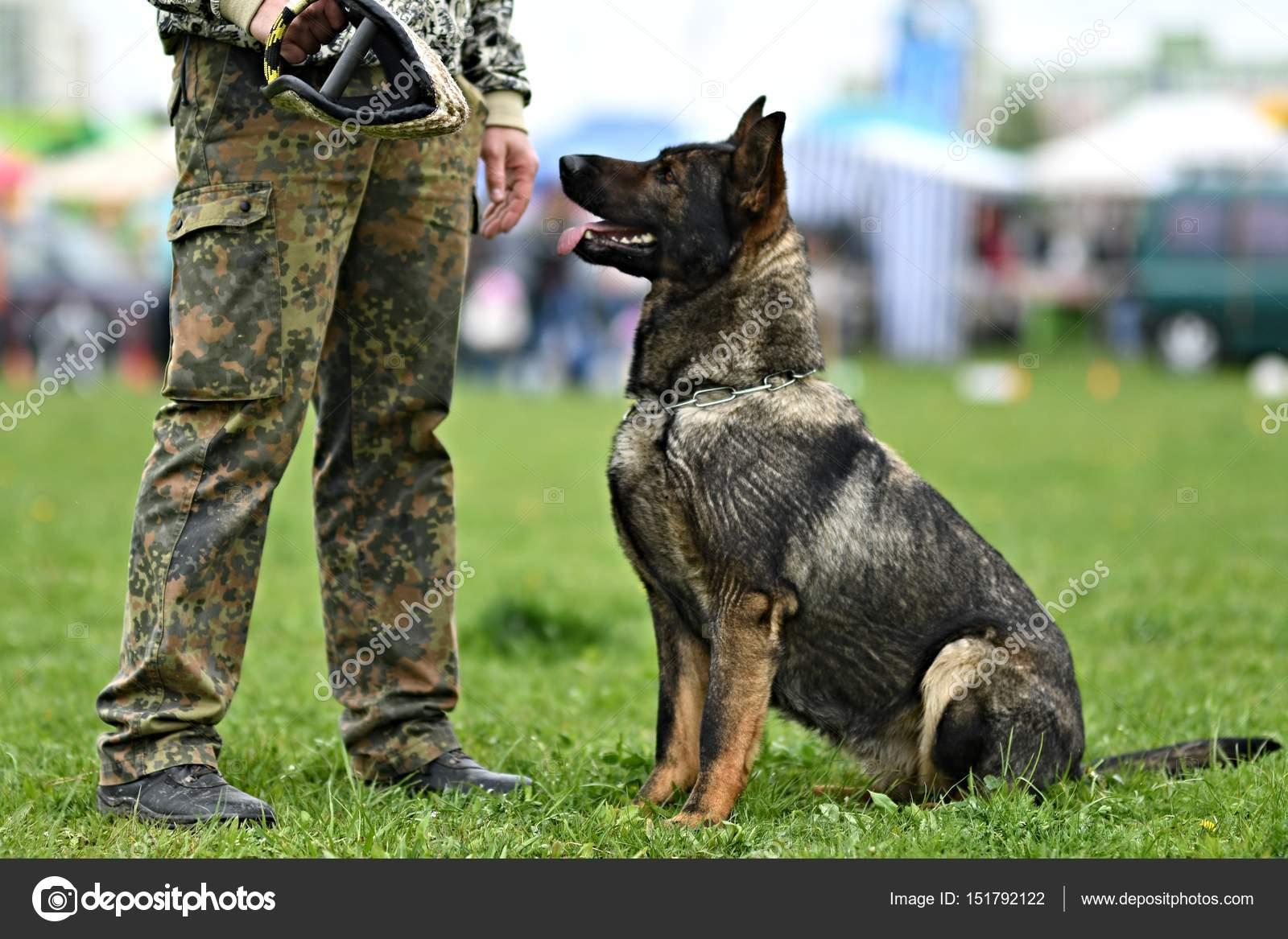 Cane Da Pastore Tedesco Cane Da Guardia Cane Poliziotto Foto
