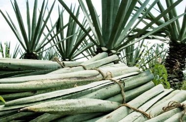 image of a stack of leaves of henequen (fourcroiydes agave)