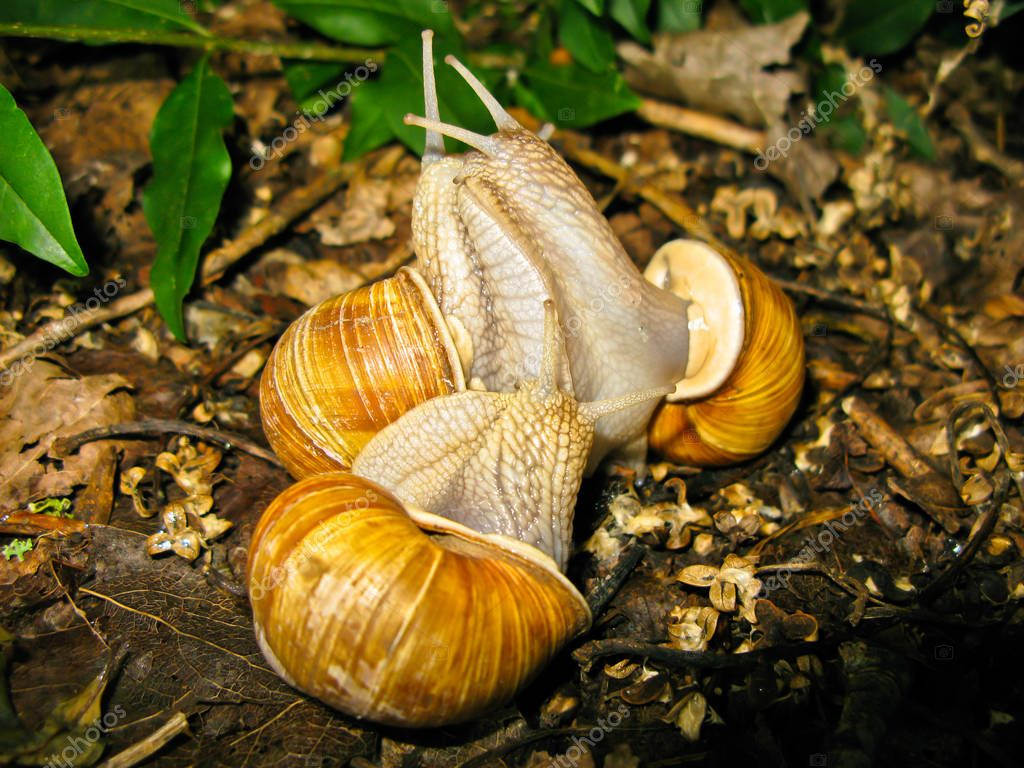 snails makeing love